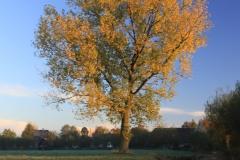 Herfstboom blauwe lucht Hoornaar-Marjolein