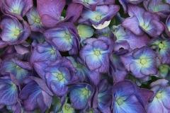 1-hortensia-8659-zoom-kopie