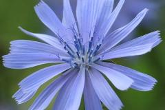 14-blauw-mooi-stamper-onkruidje-_Hoornaar-Marjolein-8673-kopie